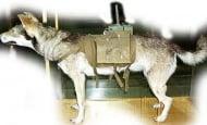 Кучетата камикадзе на Сталин, които са били обучени да се взривяват като противотанкови кучета