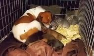 Кърмещо куче осиновява три котенца, останали без майка