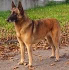 Малиноа - белгийска овчарка
