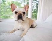Миокардит при кучето