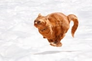 Най - бързите и атлетични породи котки