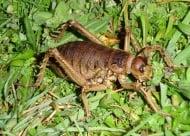 Най - голямото насекомо в света