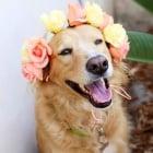Направете красива корона или гердан от цветя за вашето куче