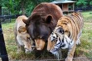 Необичайна дружба между лъв, тигър и мечка - заедно в плен на наркодилъри