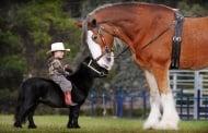 Невероятните мини коне - малки, умни, силни!