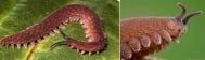 Какво животно е онихофората?