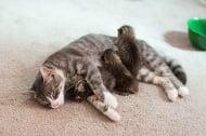 Осиротяла котка се сдоби с осиновени бебета, които приема като свои