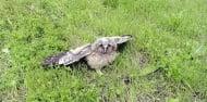 Какво да направим ако видим бебе-горска ушата сова на земята?