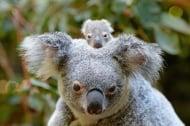 Първото бебе коала за сезона се роди в парка