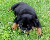 Парвовироза при кучето
