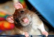 Плъх категорично отказва да яде броколи (видео)