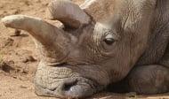 Почина един от 4-те останали северни бели носорози в целия свят
