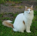 Полудългокосмести породи котки