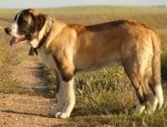Португалско пастирско куче