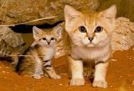 Възрастните на кой вид котка изглеждат като малки котенца?