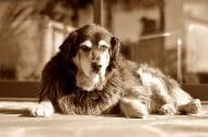 Най - честите проблеми при старите кучета