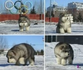 Пухкави кученца, които биха разтопили от умиление всеки човек