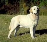 Ретривъри, Кучета, неправещи стойка и Водни кучета
