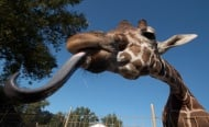 С какво си чисти ушите жирафа?