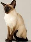 Сиамска котка