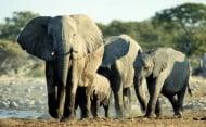 Африканските слонове са застрашени от пълно изчезване
