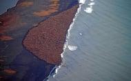 Снимка на 35 000 струпани моржа сигнализира за тревожно изменение в климата на Земята