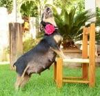 Интересна фотосесия на едно бременно куче
