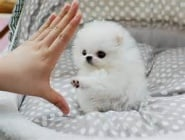 Кученце от шпиц