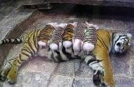 Тигрица обиква новородени прасенца като свои собствени деца
