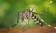 Общините вземат мерки срещу опасния тигров комар открит в  България