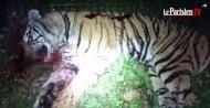 Сърцераздирателна новина! Тигър бе убит, след като избяга от цирк в Париж