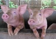 Незаразни болести - Свине