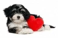 Възпаление на ендокарда (Ендокардит) при кучето