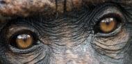 Войната на шимпанзетата в Гомбе, Танзания