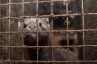 Забраниха фермите за ценни кожи в Белгия