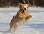 Замръзват ли лапите на кучето?