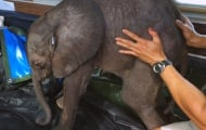 Запознайте се с Мойо - спасеното слонче, останало без семейство!