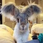 Запознайте се с Уоли - заека с уши като ангелски криле
