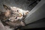 Защо котката драска по мебелите и пердетата у дома?