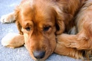 Защо кучетата плачат?