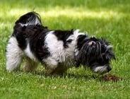 Защо кучетата ядат изпражненията си?