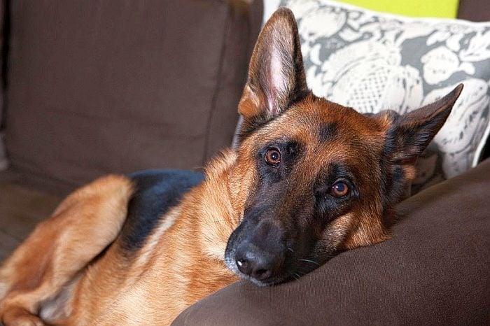 10 причини, които показват защо немската овчарка е перфектното куче за едно семейство