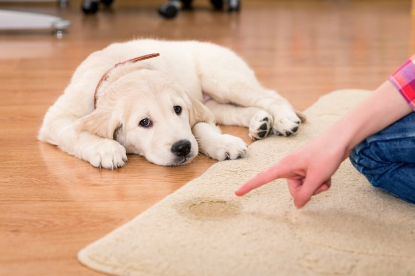 Как да научим кученцето да ходи навън до тоалетна?