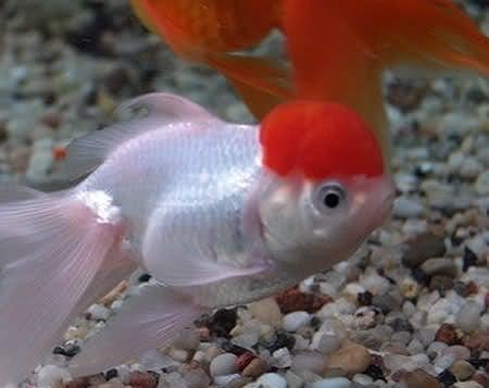 Златна рибка Червена шапка