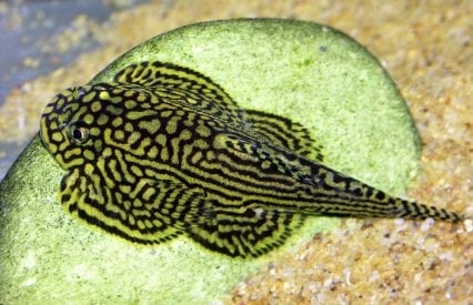 Sewellia lineolata 3-4см