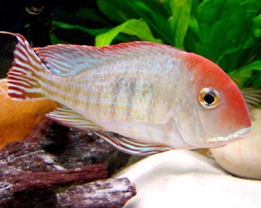 Geophagus red head tapajos 4-5sm