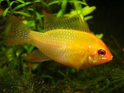 "Mikrogeophagus altispinosa gold Боливийско ""рамирези"" - 3-3.5см"