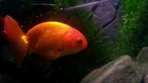 Ранчу златна рибка
