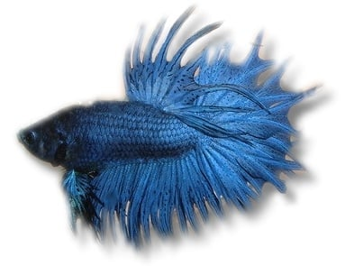 Betta splendens m blueXL