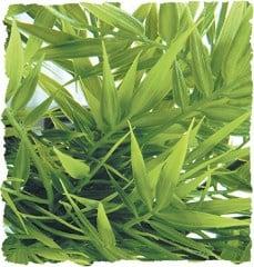 Терариумно растение Zoo-Med - Мадагаскарски бамбук